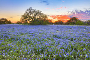 South Texas Bluebonnet Sunset 318-1
