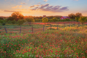 Texas Reds - Wildflowers at Sunset 1