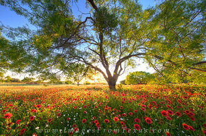 Texas Reds - Wildflowers at Sunset 2