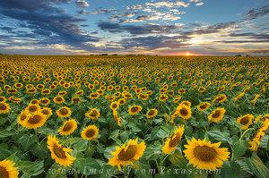Texas Sunflower Sunset 2