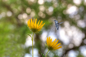 Texas Sunflowers and a Hummingbird