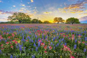 Texas Wildflower Sunrise Glory 319-1