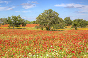 Texas Wildflowers and Fields of Fire 1
