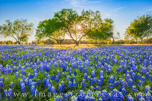 The Bluebonnet Tree 2