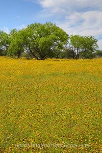 Wildflowers of Texas - Bitterweed 2