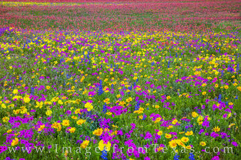 Wildflowers, color, evening, new berlin, Texas flowers, paintbrush, phlox, primrose, buttercups, bluebonnets, spring, red, purple, blue, yellow, gold, white, green, san Antonio, church road