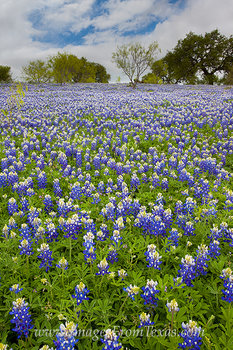 April Bluebonnets in the Hill Country