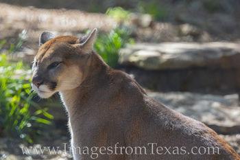 cougar, austin zoo, austin travel