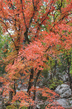 Autumn Color of Lost Maples State Park 1