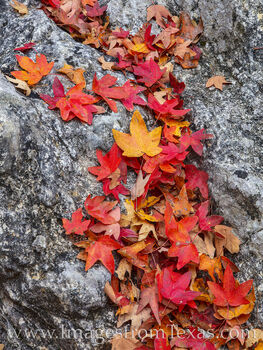 maple leaves, lost maples, texas hill country, lost maples prints