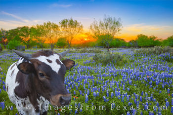 longhorn, calf, baby, bluebonnets, sunset, hill country, photobomb, blue, wildflowers, hill country