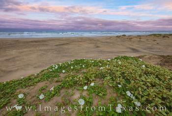 Beach Morning Glory on South Padre Island Beach 510-1