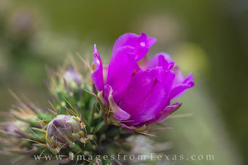 Texas wildflowers, texas flowers, christmas chollo, desert flowers, big bend national park, big bend flowers
