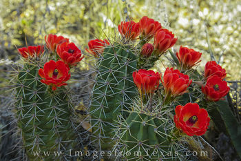 claret cup cactus, big bend national park, texas wildflowers, chisos mountains
