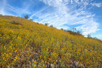 texas wildflowers,big bend wildflowers,big bend national park,big bend prints,texas landscapes