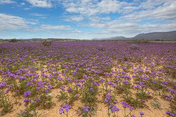 Big Bend - Desert Wildflowers 1