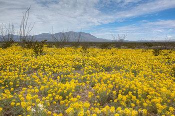 Big Bend - Desert Wildflowers