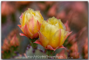 big bend wildflowers,big bend national park,texas wildflowers,prickly pear cacti,prickly pear blooms,texas images