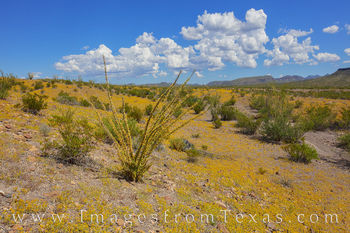 big bend ranch, big bend state park, wildflowers, gold, chihuahuan desert, rains, desert bloom, october, ranch road