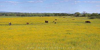 Bitterweed and Cattle - May Wildflowers