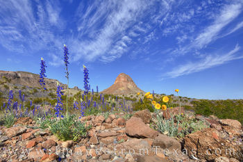 bluebonnets, marigolds, big bend, cerro castellan, chihuahuan desert, river road west, morning, blue, sky, wildflowers, texas