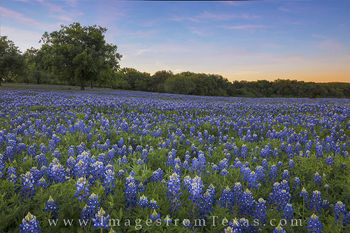 bluebonnet images, bluebonnet prints, texas hill country, texas wildflowers, texas wildflower images, texas hill country prints, texas landscapes, blue