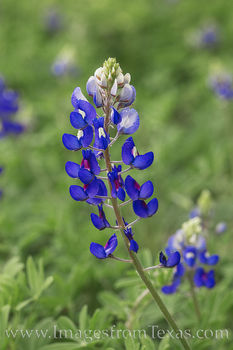 bluebonnets, portrait, wildflowers, hill country, wildflowers, Lupinus texensis