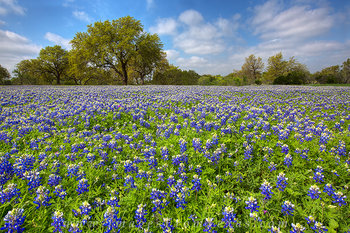 bluebonnet photos,texas widflowers,hill country bluebonnets,texas hill country,springtime in texas