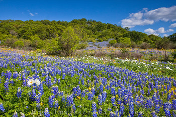 bluebonnet images,texas wildflowers,white prickly poppies,texas hill country,wildflower photos