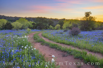 Bluebonnets, wildflowers, white poppies, white prickly poppies, tracks, dirt road, backroads, hill country, rural, quiet, sunset