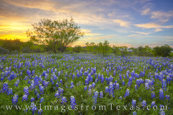 bluebonnets, hill country, sunset, spring, april, texas wildflowers, wildflowers, texas bluebonnets, dirt road, back roads, travel, orange, blue