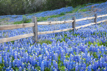 bluebonnets,bluebonnet prints,texas wildflowers,texas hill country