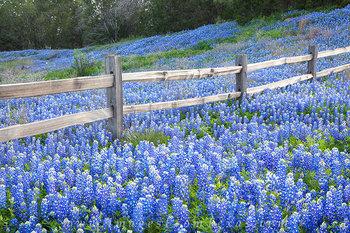 Bluebonnet Fence near Llano Texas