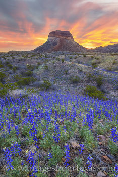 bluebonnets, big bend national park, chihuahuan desert, cerro castellan, sunrise, wildflowers, spring bloom, desert bloom