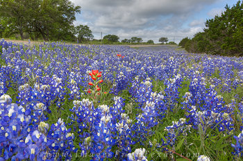 bluebonnet photos,bluebonnet prints,bluebonnets,Texas wildflowers