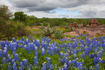 bluebonnets,paintbrush,texas wildflowers,texas bluebonnets,bluebonnet photos,wildflower prints,bluebonnet prints