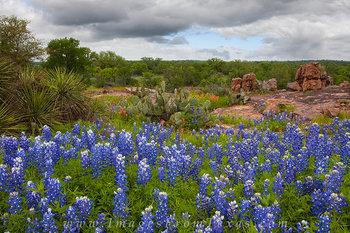 Bluebonnets- Hill Country Landscape 3