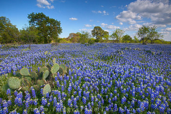bluebonnet images,texas wildflower images,texas bluebonnets,texas landscapes