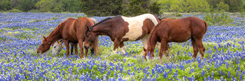 bluebonnet images,horses,horse in bluebonnets,bluebonnet panorama,texas wildflower images,texas wildflowers,marble falls,texas hill country