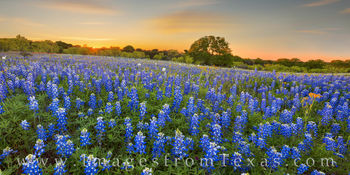 bluebonnets, wildflowers, hill country, dirt roads, sunset, sunburst, beauty, bluebonnet prints for sale, best bluebonnet pictures