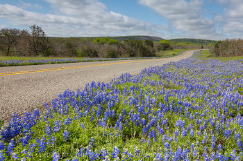 texas wildflowers,bluebonnets,texas bluebonnets,bluebonnet images