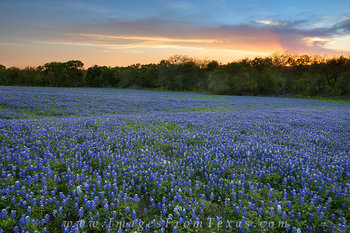 bluebonnets,texas bluebonnet images,bluebonnet images,texas wildflowers,wildflower photos,texas landscapes,ennis bluebonnets