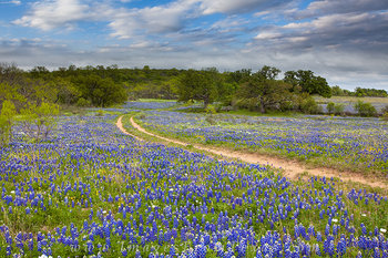 Bluebonnets along a Country Road