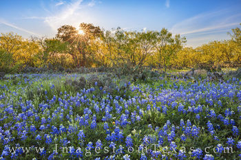 bluebonnets, sunburst, texas hill country, mason, evening, bluebonnet prints, country roads, county roads