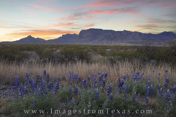 bluebonnets, texas wildflowers, big bend national park, big bend, chisos mountains, texas desert, texas national park, texas sunrise, west texas