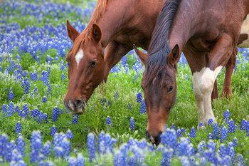 Bluebonnets - Two Horses Enjoy Morning