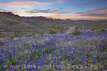 bluebonnets, mule ears, big bend, ross maxwell, chisos, foothills, blue, sunrise, scenic drives, hiking, west texas, chihuahuan desert, national park, texas parks