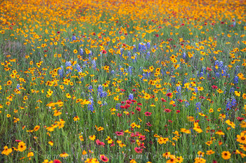 Texas wildflower images,Texas wildflower pictures,Texas wildflower photos,texas wildflowers,texs flowers,wildflowers in texas,wildflowers of texas,bluebonnet images,bluebonnet pictures,bluebonnet phot