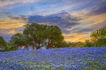 bluebonnet photos,texas wildflowers,texas sunset,bluebonnet prints,texas landscapes,texas hill country