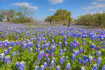 bluebonnet photos,texas wildflower photos,texas hill country